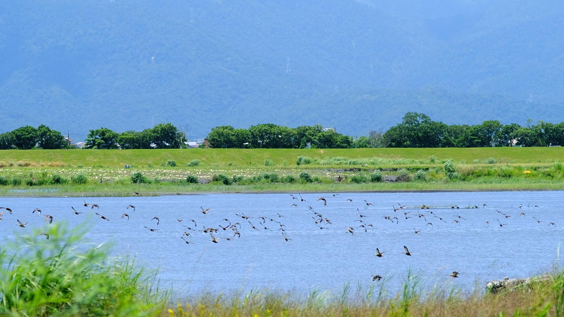 蘭陽溪水鳥